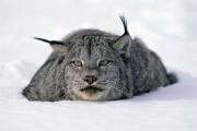 Le lynx du Canada est un chasseur de... (Photo Thinkstock) - image 3.0