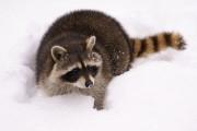 La trace du raton laveur ressemble à une... (Photo Thinkstock) - image 4.0