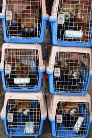 Les six pandas roux, peu après leur saisie... (FREE THE BEARS VIA AFP) - image 1.0