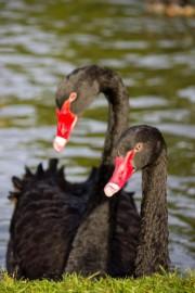 Un couple de cygnes noirs... (PHOTO THINKSTOCK) - image 1.0