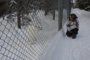 Rencontre avec un loup dans un enclos d'Aventuraid... (Photo Guillaume Roy, collaboration spéciale) - image 1.1