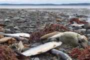 Dead herring lie on the shore in Savary... (Andrew Vaughan, Archives La Presse Canadienne) - image 1.0