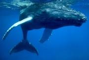 Une baleine à bosse.... (Photo fournie par l'Office européen des brevets.) - image 1.1
