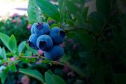 Voir les enfants se gaver de petits fruits à même... (Photo : Écomestible Inc) - image 2.0