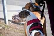 Le débat sur les pitbulls a beaucoup monopolisé... (Photo Patrick Sanfaçon, archives La Presse) - image 1.1