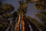 Les séquoias géants, de près de 100 mètres... (DAVID MCNEW, AFP) - image 1.0