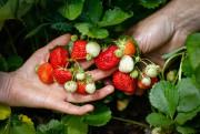 Seulement une dizaine de producteurs de fraises et... (Photo Mathieu Bélanger, collaboration spéciale) - image 3.0