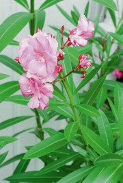 Plante populaire, le laurier-rose produit de jolies fleurs... (Photo archives La Presse) - image 2.0
