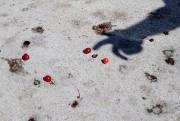Les cerises tachent le trottoir quand elles tombent.... (PHOTO ALAIN ROBERGE, LA PRESSE) - image 1.1