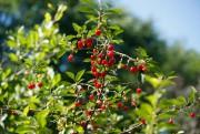 Des fruits prêts à être cueillis.... (Photo Martin Chamberland, La Presse) - image 1.1