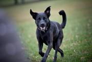 Faut-il préférer les chiens de race pure?... (Photo Patrick Sanfaçon, archives La Presse) - image 2.0