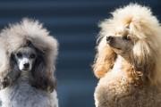 Les caniches ont la réputation d'être hypoallergènes.... (PHOTO JOHANNES EISELE, archives Agence France-Presse) - image 3.0