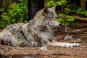 Les loups font partie des animaux que les... (PHOTO TIRÉE DU COMPTE FACEBOOK DU REFUGE) - image 2.0