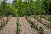 De nombreux vignerons du comté du Prince-Édouard qualifient... (Photo Olivier PontBriand, Archives La Presse) - image 2.0
