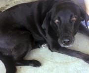 La découverte de ce labrador baptisé Lucy a... (Photo Lisa Christon, AP) - image 2.0