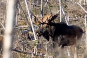 Les conflits entre chasseurs, surtout autour de l'orignal,... (Photo David Boily, La Presse) - image 1.0