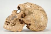 Crâne et mandibule de La Ferrassie 1, présenté... (PHOTO FOURNIE PAR LE MUSÉE CANADIEN DE L'HISTOIRE) - image 3.0