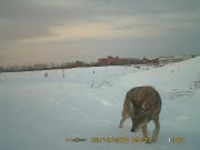 Un coyote photographié par l'une des sept caméras... (Photo fournie par la Ville de Montréal) - image 2.0