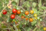 Les tomates cerises sont toujours appréciées.... (PHOTO DAVID BOILY, ARCHIVES LA PRESSE) - image 4.0