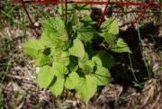 Plant dekiwi arctique, ou Kolomikta... (PHOTO DAVID BOILY, LA PRESSE) - image 6.0