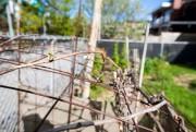 Vigne à raisin de table, dans Villeray... (PHOTO OLIVIER JEAN, LA PRESSE) - image 7.0