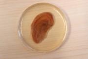 Andrew Pelling a fait pousser des cellules de... (PHOTO MARTIN CHAMBERLAND, LA PRESSE) - image 5.0