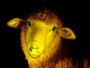 Un moutonfluorescent créé dans un laboratoire à l'aide... (PHOTO JAVIER CALVELO, ARCHIVES AGENCE FRANCE-PRESSE) - image 6.0