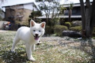JAPAN-ANIMAL-DOGS-AKITA