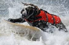 Le 30 septembre dernier se tenait à Huntingtton Beach en Californie un concours de surf canin devant près de 1,500 personnes.