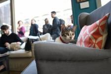 Les New-Yorkais qui voudraient se détendre en caressant de délicates fourrures peuvent découvrir le premier «bar à chats» des États-Unis, niché dans le Lower East Side, un établissement qui ne sera toutefois ouvert que durant quelques jours.