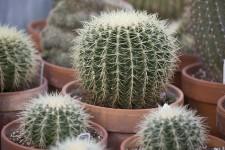 Les cactus ne poussent pas qu'au beau milieu du désert et ne craignent ni les appartements asséchés par le chauffage ni les températures fraîches. Et si le Québec était l'endroit idéal pour faire pousser les cactus?