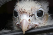 Sauvetage d'un oiseau rare