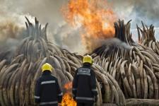 Le Kenya a procédé samedi à la destruction de 105 tonnes d'ivoire dans le parc national de Nairobi.