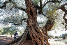 <strong>Le soleil se couche sur l'est de l'Espagne et des dizaines d'arbres majestueux étendent leurs ombres sur la terre: ces oliviers millénaires sont désormais protégés pour échapper à la convoitise des amateurs de raretés qui les arrachent à leur pays. Par AFP</strong>