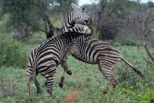 L'automne dernier, le photographe du <em>Soleil</em>, Erick Labbé, a visité l'Afrique du Sud pendant trois semaines. Son «rêve de ti-cul» s'est réalisé lors d'un safari photo dans le parc national Kruger, la plus grande réserve animalière du pays avec ses 20 000 km carrés. Armé de sa caméra, les sens toujours en alerte, Erick a croqué plusieurs clichés de la faune qui peuple ce coin de la planète et que la plupart d'entre nous ne verront qu'à travers les documentaires. Coup d'oeil sur un bestiaire unique.