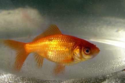 Ne jetez pas votre poisson rouge dans la cuvette louise for Poisson rouge a acheter