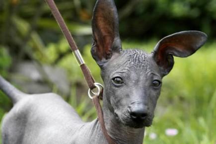 Un chien sans poil offert pour les filles d 39 obama insolite - Enlever poil de chien voiture ...