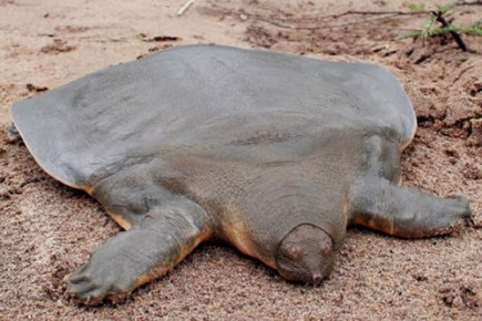 Soft shell turtle neck - photo#46