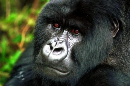 Trois femelles gorilles auxquelles le personnel du zoo de Londres a montré des... (Photo: Archives AFP)