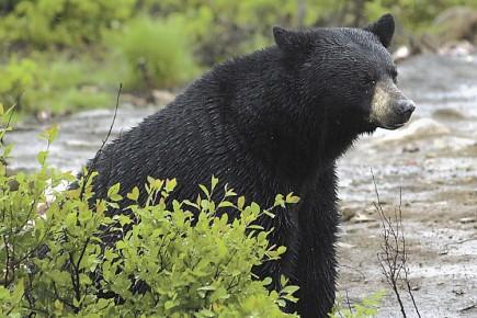 Le Québec compte environ 70 000 ours noirs... (Archives La Presse)
