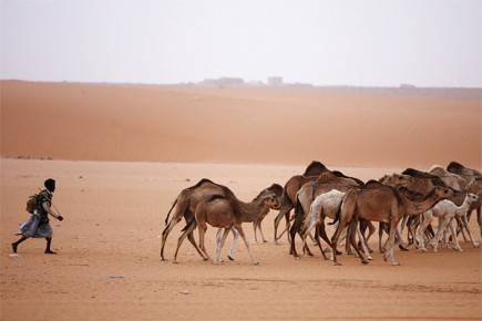 Un homme amène des chameaux près de la... (Photo: Finbarr O'Reilly, archives Reuters)