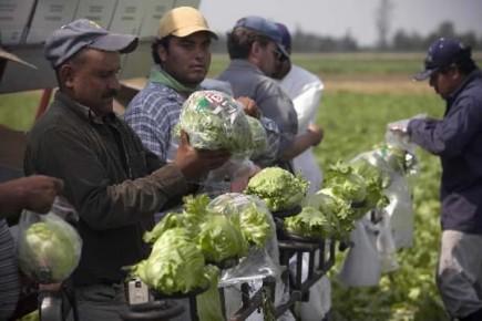 Traavilleurs saisonniers mexicains dans un champs de Sainte-Thérèse.... (Photo: André Pichette, La Presse)