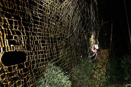 L'araignée Nephila komace est similaire à sa cousine... (Photo: PC)