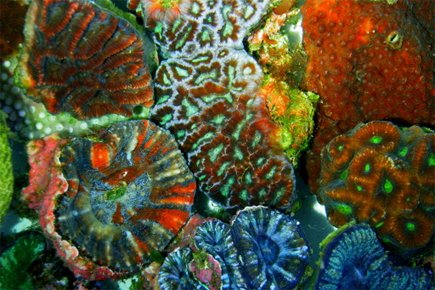 Les coraux sont classés comme des animaux.... (Photo: AFP)