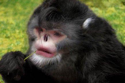 Découverte d'une nouvelle espèce de singe au nez retroussé