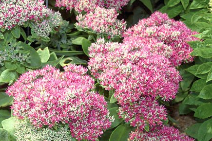 Sedum 'Autumn Fire' remplace la vieille variété 'Autumn... (Photo Proven Winners)
