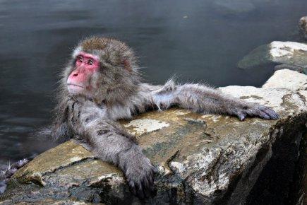 Indifférents aux êtres humains, les macaques gambadent et... (Photo: Getty Images)