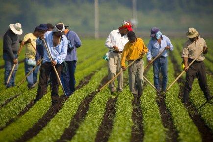 Des travailleurs migrants dans un champ du Québec.... (Photo: André Pichette, La Presse)