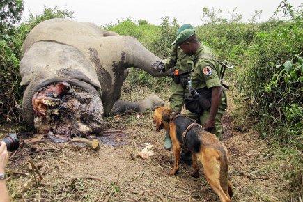 La coop ration pour contrer le trafic de l 39 ivoire - Comment reconnaitre de l ivoire ...