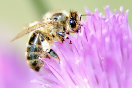 L'effet des pesticides sur les abeilles peut être... (Archives AFP)